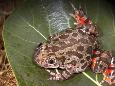 Red-legged kassina frog