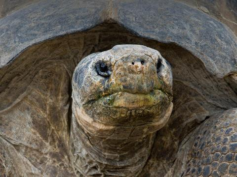 Galapagos tortoise with mouth stained by green vegetation meal