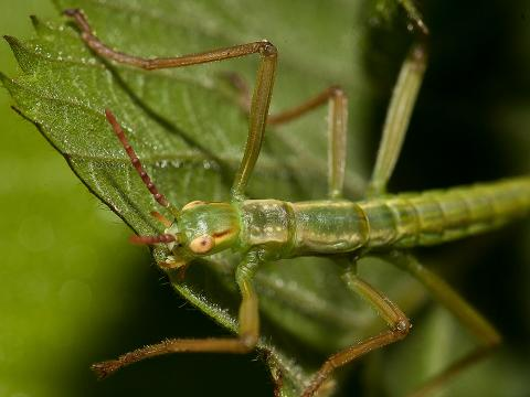 Juvenile Lord Howe island stick insect on green leaf