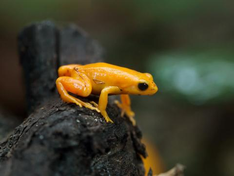 Close-up of a Madagascar Golden mantella frog sitting on a dark brown log