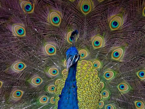 Peacock with tail feathers on display.
