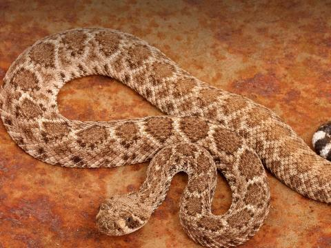 Western diamondback rattlesnake on rust red stone