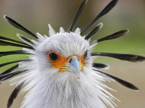 Secretary bird displaying head plumage