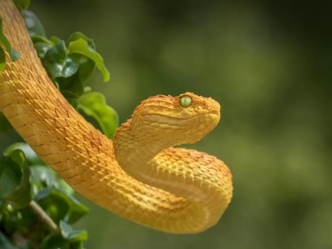 Yellow bush viper