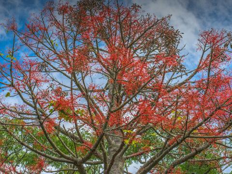 Illawarra Flame Tree