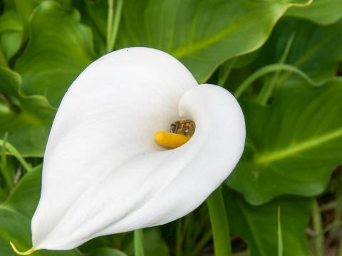 A bee collects pollen from a white Calla Lily.