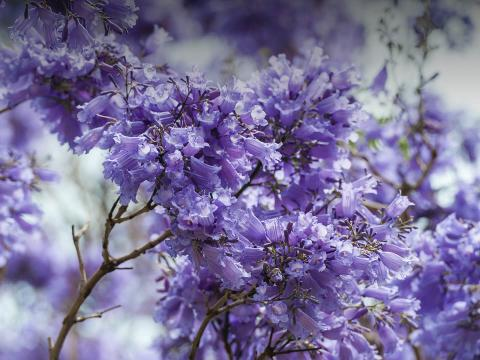 Purple-flowered jacaranda tree