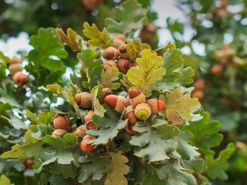 Acorns growing on an oak tree