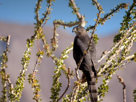 A hawk perches on an ocotillo in the desert.
