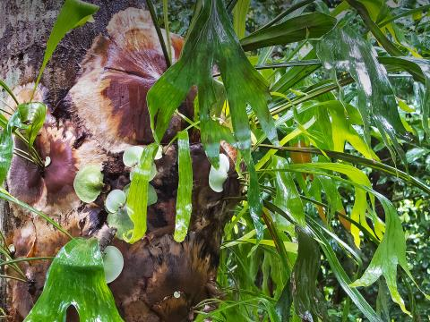 Large staghorn fern growing on a tree trunk.