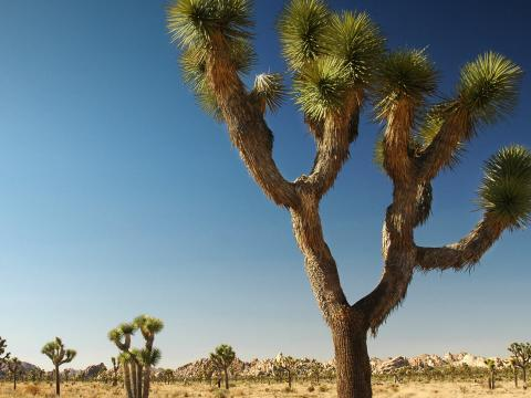 Joshua trees in the Nevada desert.