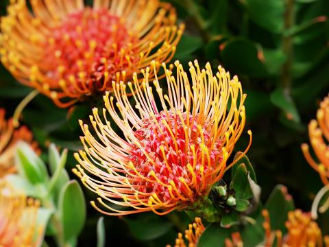 Several African Proteas in bloom.