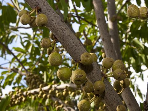 Many figs are shown hanging on a ficus tree.