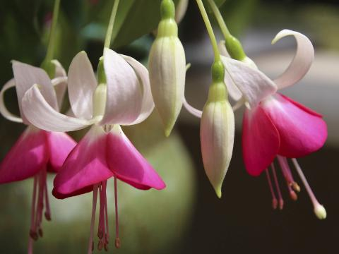 A group of pink and white fuchsia flowers.