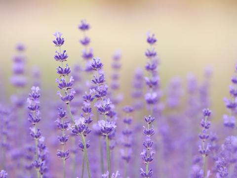 Lavender in a field.