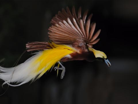 Raggiana Bird of Paradise