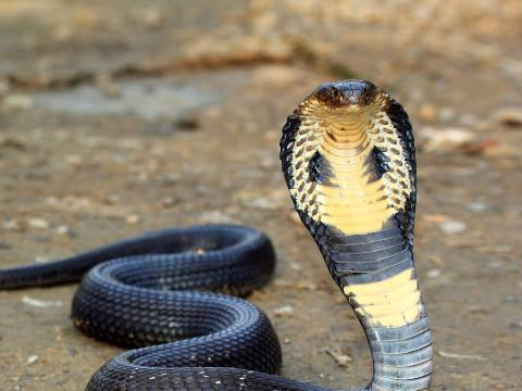 King cobra with head upright on brown dirt ground