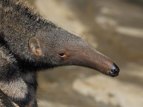 A baby giant anteater rides on its mother's back