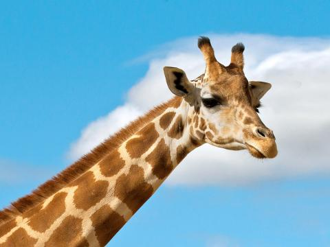 Ugandan giraffe against a blue sky background