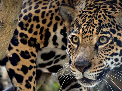 A jaguar peers out from under a tree branch