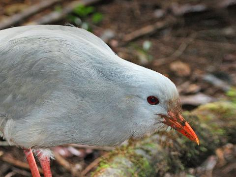 Kagu bird foraging on forest floor.