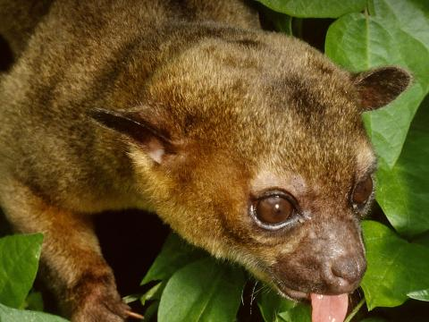 Kinkajou climbing down leaves, sticking its tongue out.