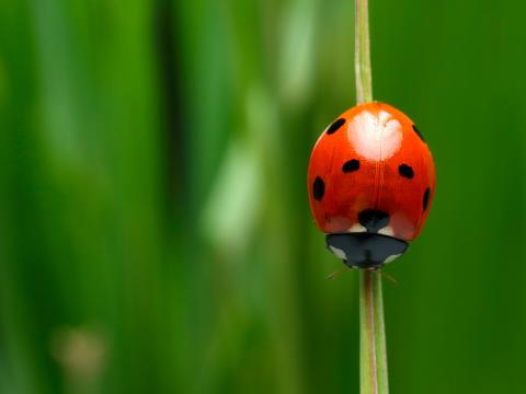 Ladybug crawling down a blade of grass