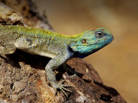Green-headed tree agama lizard
