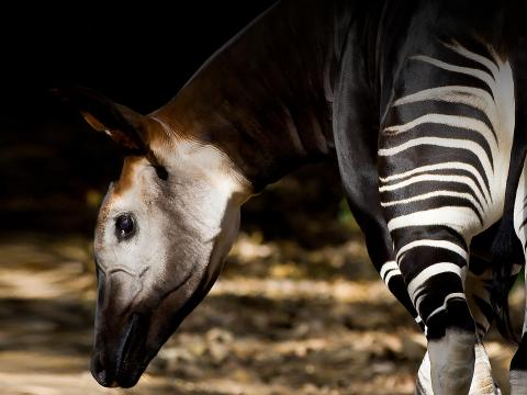 An okapi faces its striped rear toward the camera while holding its head to the left