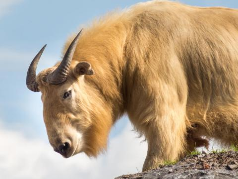 A takin in Bhutan stands on the top of a dirt hill looking down