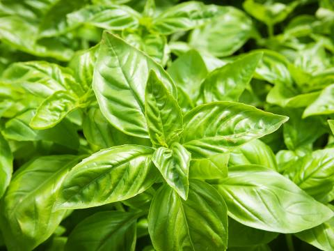 A tight cluster of basil leaves.
