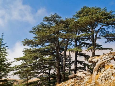 A grouping of cedars on a rocky hillside.