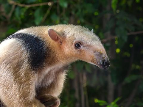 A young tamandua gazes at the camera with a wet nose.