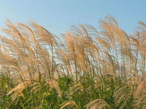 A large group of silver grass against a clear blue sky.