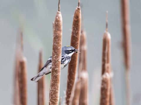 Yellow-rumped warbler with a bee in its beak sitting on a cattail in B.C. Canada