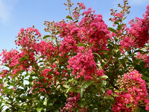 Crape myrtle tree covered in pink blossoms
