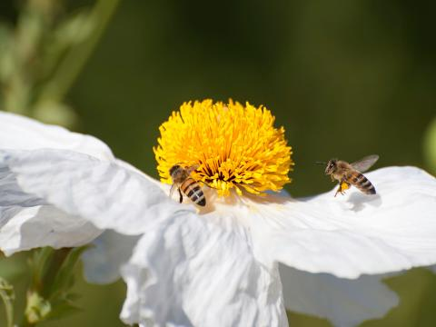 Two honeybees visiting a matilija poppy