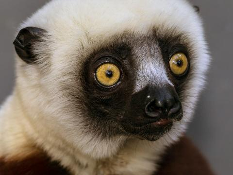 Close-up of a cockerel's sifaka's face, displaying it's large round, yellow eyes.