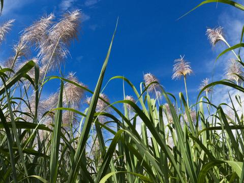 sugarcane field with blue skies