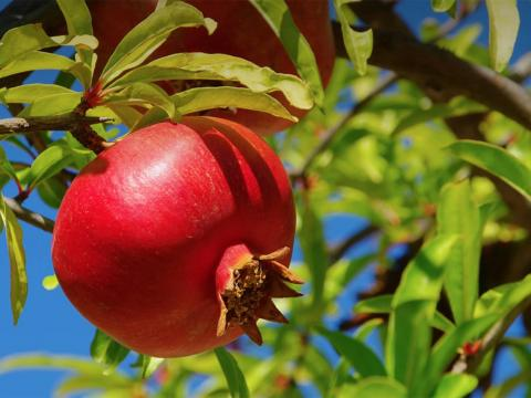 Large red pomegranate fruit growing on tree