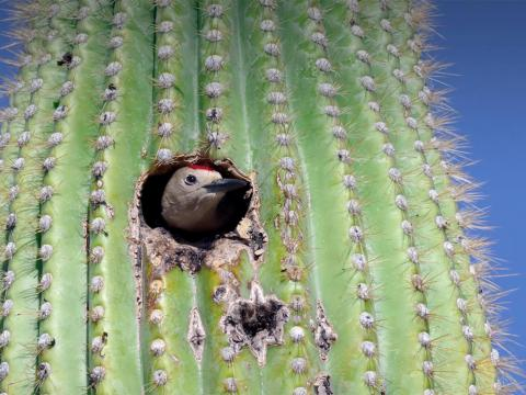 A woodpecker peeks out from a hole it has made in a large saguaro cactus.