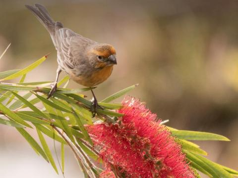 Finch sitting on a bottlebrush branch