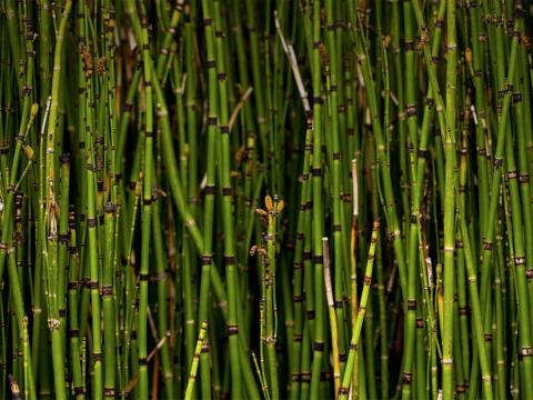 A dense growth of horsetail reed