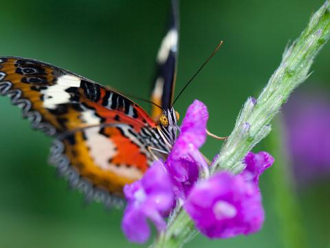 Leopard Lacewing (Cethosia Cyane) feeding on Blue Porterweed with purple flowers.