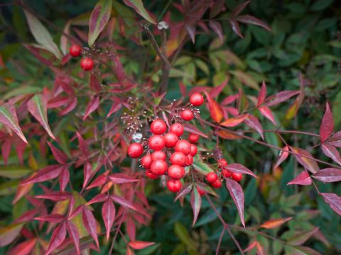Closeup of heavenly bamboo plant's red berries.