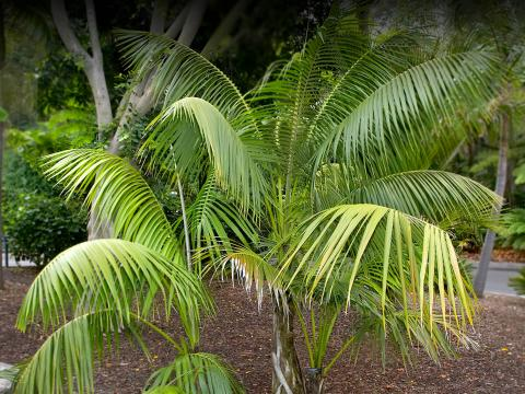 Howea palm at the San Diego Zoo