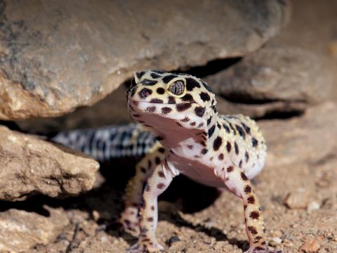 Leopard gecko emerging from rocks.