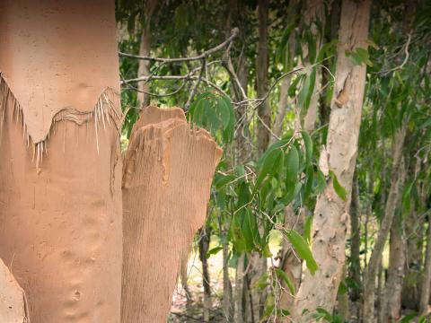Australian paperbark tree with peeling, cork-like bark.