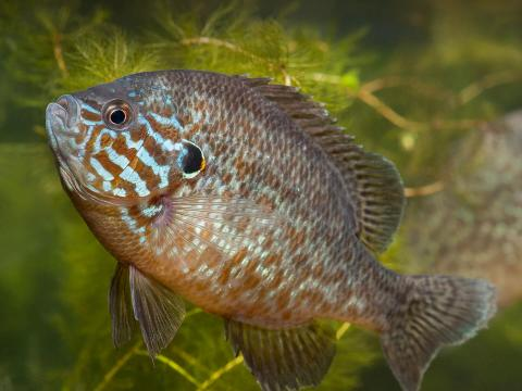 A pair of pumpkinseed sunfish under water.