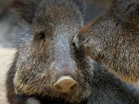 A pair of peccaries.